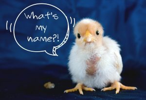 nick name for hen and her chicks hens party game